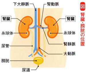 腎臓・膀胱の位置