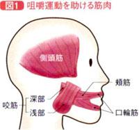 咀嚼運動を助ける筋肉